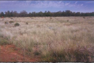 Native Grassland re-establishment after removal if INS and cropping phase.