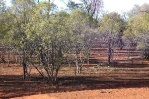 Eremophilla mitchellii in dominance as Invasive Native Scrub